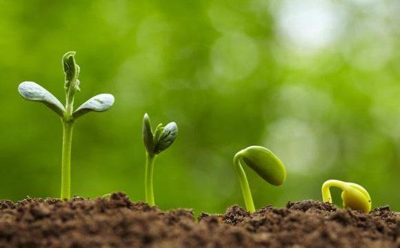 Elian seedlings