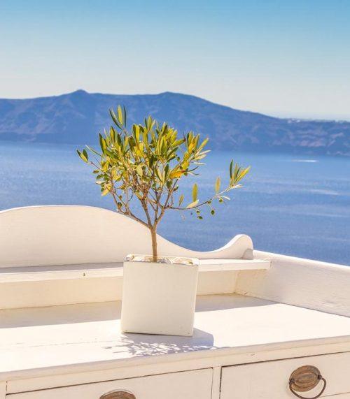 Olive tree in Santorini